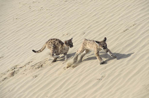 Mountain Lion or Cougar, (Felis concolor) Pair of cubs chasing and playing in Little Sahara dunes. Utah.  Captive Animal.