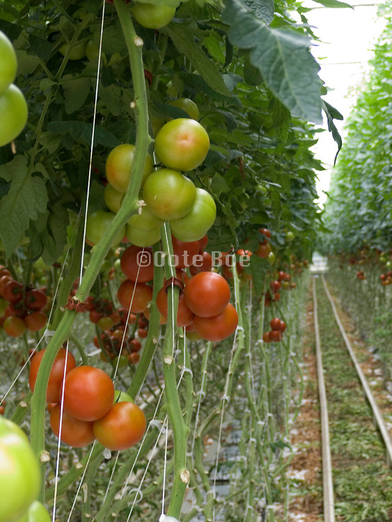 close up of tomato plants in large commercial glasshouse