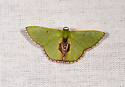 The moth Synchlora astraeoides from the Amazon, Brazil.