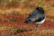 Magellanic Oystercatcher (Haematopus leucopodus), Sealion Island, Falkland Islands, South Atlantic Ocean