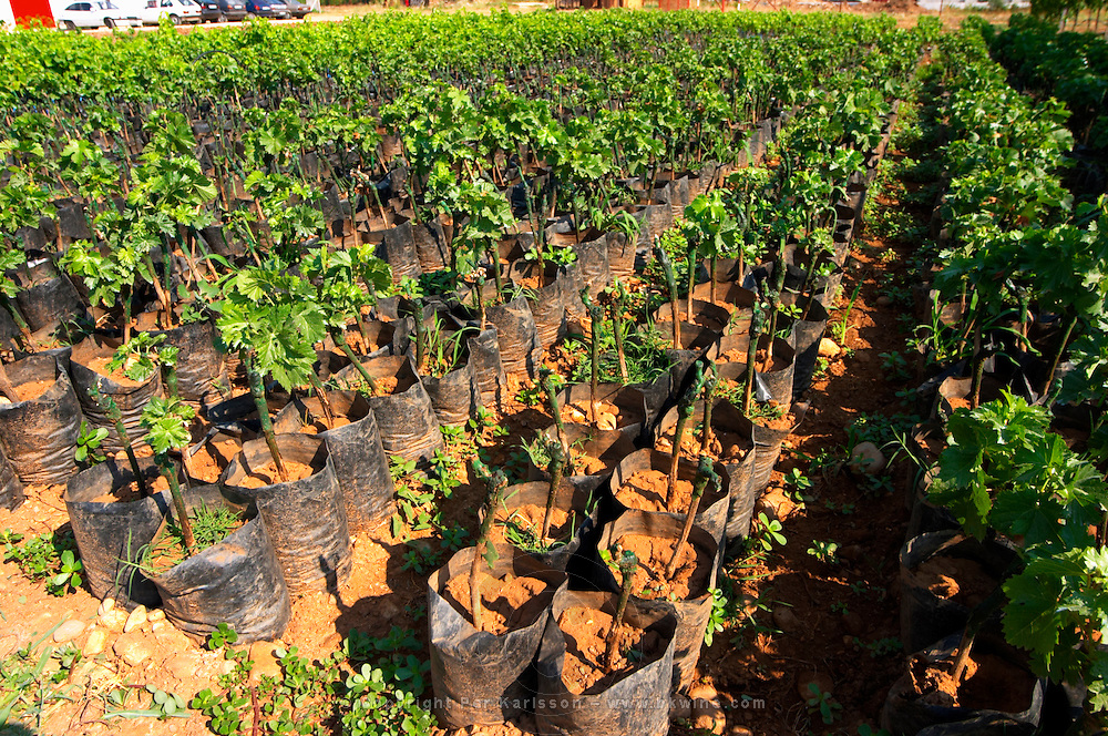 The winery's own vine nursery. Young plants Standing in plastic bags with watering tubes for irrigation. Thousands of vines. Vineyard on the plain near Mostar city. Hercegovina Vino, Mostar. Federation Bosne i Hercegovine. Bosnia Herzegovina, Europe.