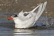 Caspian Tern bathing.(Sterna caspia).Back Bay Reserve, California