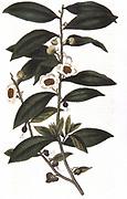 Tea: Camellia sinensis. Sprig of tea bush. Hand-coloured engraving 1823.