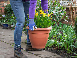 Putting out pre-planted pots of daffodils to brighten up a front garden