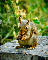 Squirrel trying to crack a peach pit. Image taken with a Fuji X-H1 camera and 100-400 mm OIS lens