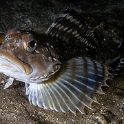 This is a Gymnocanthus herzensteini sculpin, native to the Northwest Pacific Ocean. Normally found at depths of 50m to 100m, this fish ascended to a shallow area during an upwelling of cold water from the deep. It measured about 30cm in length and was highly inquisitive.