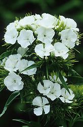 Dianthus barbatus alba - sweet william