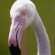Portrait of a flamingo bird.