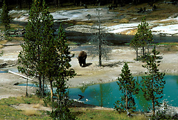 WY: Wyoming; Yellowstone National Park, Buffalo     .Photo Copyright Lee Foster, lee@fostertravel.com, www.fostertravel.com, (510) 549-2202.Image: wyyell221