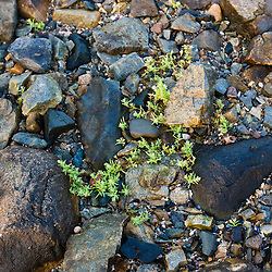 Heather grows between the rocks at Seawall in Maine's Acadia National Park.