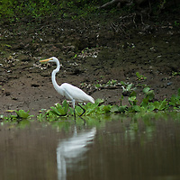 A Great Egret (Ardea alba) wades in the Yanayacu River, a Peruvian tributary to the Amazon.
