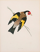 European goldfinch. 19th century Artwork of a European goldfinch (Carduelis carduelis) on a branch. This bird feeds mainly on thistle seeds. Females produce four to six eggs, which hatch after 11- 14 days of incubation.