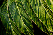 Green and yellow striped leaves design