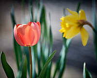 Tulip and Daffodil Flower. Image taken with a Nikon D5 camera and 600 mm f/4 VR lens.