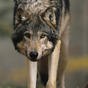 Gray Wolf (Canis lupus) In a hardwood forest of northern Minnesota. Captive Animal.