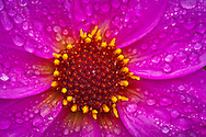 water drops on a dwarf dahlia flower center is seen in macro.