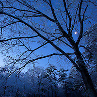 The moon shining though snow covered trees.