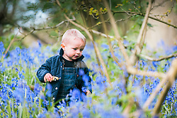 A young boy enjoys the opportunity to have a closer look at a spectacular display of bluebells.