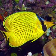 Latticed Butterflyfish inhabit reefs. Picture taken Fiji.