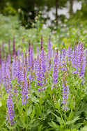 USA, Maryland, Montgomery County.  A meadow filled with larkspur (Delphinium).