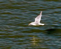 Herring Gull (Larus argentatus). Viewed from the deck of the MV Columbia. Alaska Marine Highway, Inside Passage. Image taken with a Nikon D300 camera and 18-200 mm VR lens.