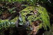 Wagler's Sipo (Chironius scurrulus)<br /> Yasuni National Park, Amazon Rainforest<br /> ECUADOR. South America<br /> HABITAT & RANGE: Tropical lowland forests of North America, Trinidad and Tobago.