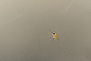 [captive] This Golden Silk Orbweaver (Nephila clavipes) is only a few weeks old. | Diese Goldene Radnetzspinne (Nephila clavipes) ist erst wenige Wochen alt.