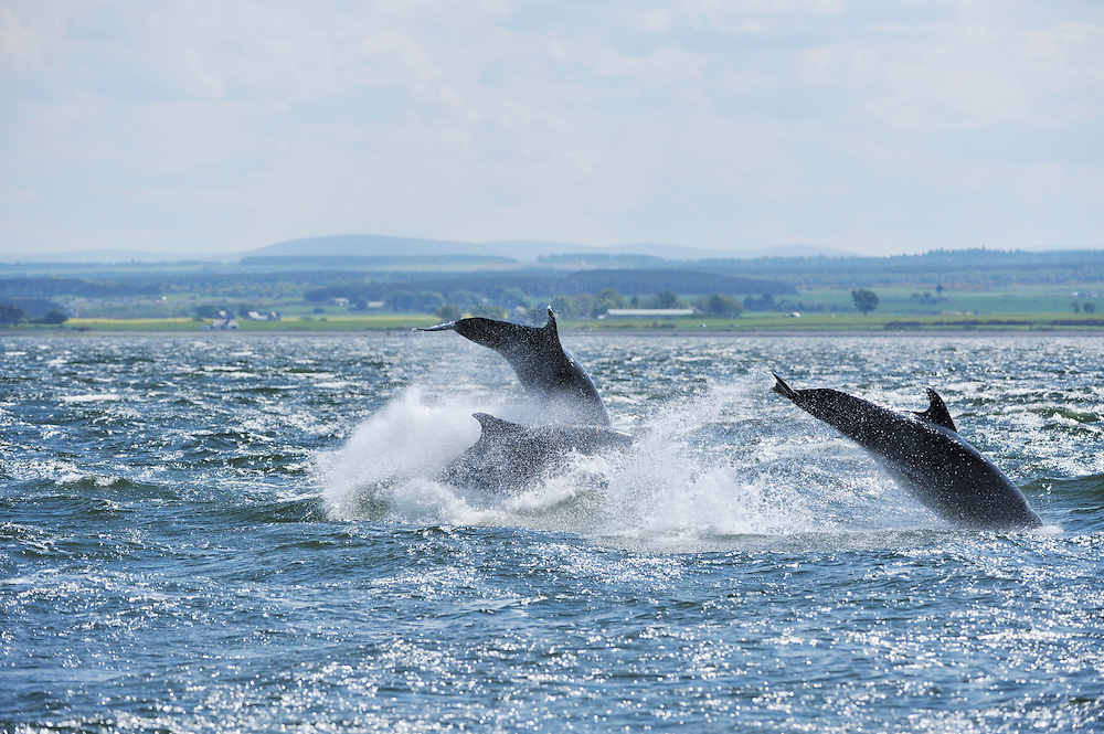 Bottle-nosed Dolphins breaching,<br /> Tursiops truncatus,<br /> Moray Firth, Nr Inverness, Scotland - May