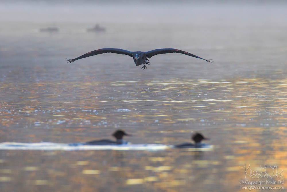 A great blue heron (Ardea herodias) flies low over the Sammamish River near Kenmore, Washington during a foggy sunrise.
