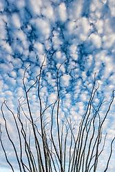 Ocotillo (Fonquieria splendens) against blue sky and clouds, Big Bend National Park, Texas