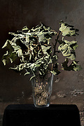 twig with dried crumpling fig leaves