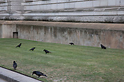 Gathering of black crows outside the Treasury in London, England, United Kingdom.