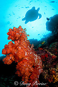 green sea turtle, Chelonia mydas,<br /> swims over reef wall with soft coral, <br /> Dendronephthya sp., Sipadan Island, <br /> off Borneo, Sabah, Malaysia ( Celebes Sea )