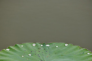 Indian, or Sacred Lotus flowers, Nelumbo nucifera, with water on the leaf in East Lake Greenway park, Wuhan, Hubei, China