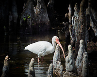 White Ibis waiding in Big Cypress Swamp. Image taken with a Nikon 1V2 camera, FT1 adapter, and 70-200 mm f/4 lens (ISO 640, 200 mm, f/8, 1/500 sec).