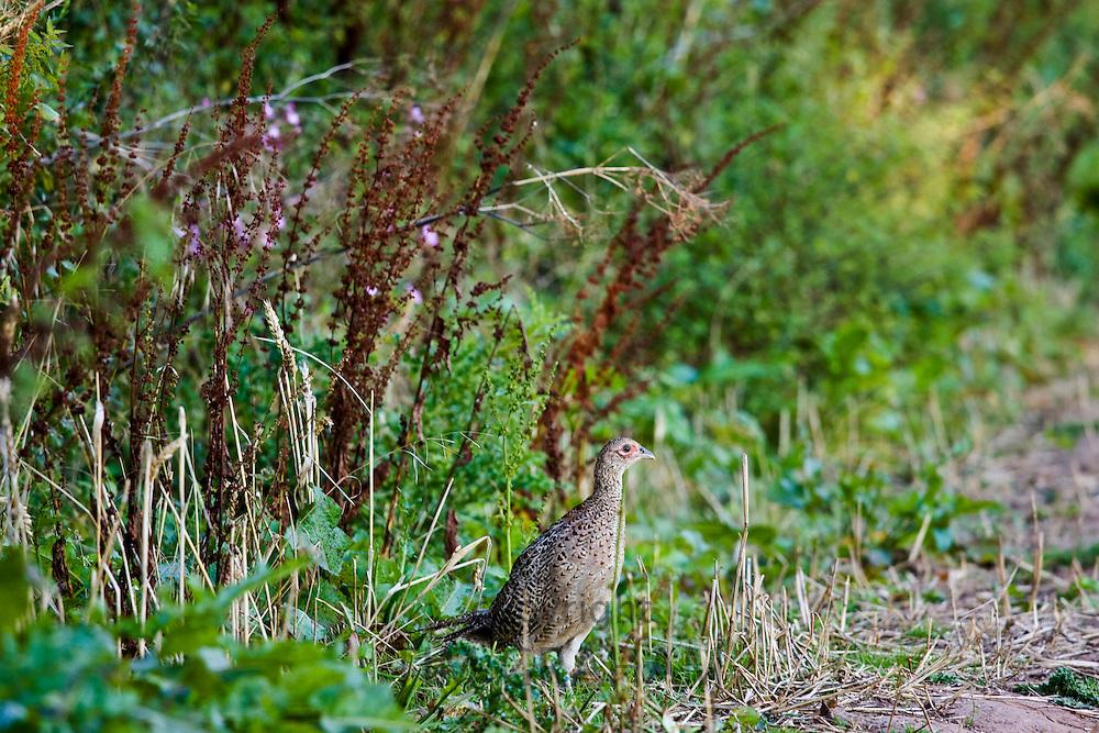 Female pheasant, Herefordshire, England, United Kingdom