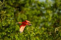 Scarlet Ibises (Eudocimus ruber) among the mangrove trees in the Orinoco River Delta, Venezuela.