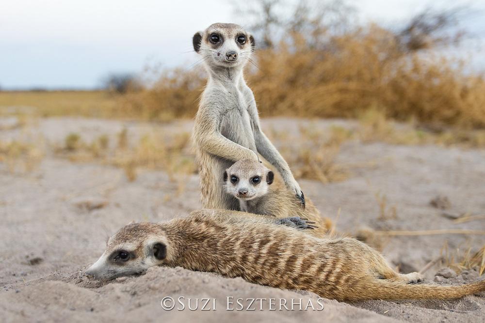 Meerkat<br /> Suricata suricatta<br /> Adults and six-week-old pups at burrow<br /> Makgadikgadi Pans, Botswana