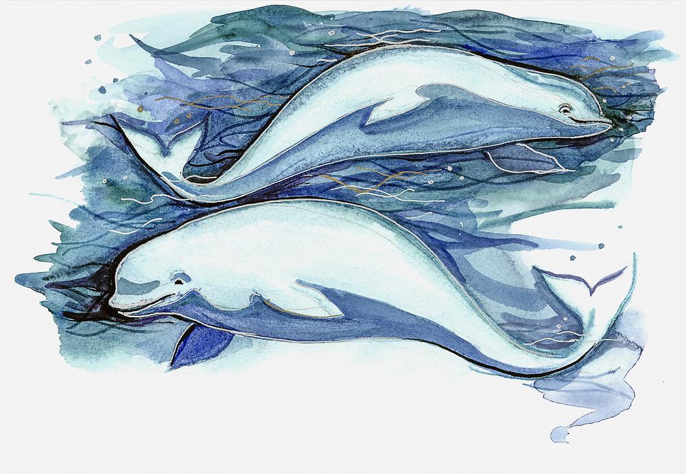 Beluga whale, watercolor by Nana Gerasimova, ©Pat O'Hara