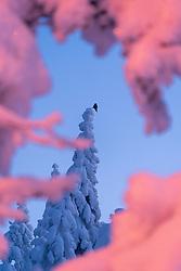 Northern Hawk-Owl (Surnia ulula) in winter forest in Krokskogen, Viken, Norway