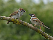 Tree sparrow, Passer montanus, adult with fledgling perched on lichen covered branch in Garden, Lancashire, England, UK