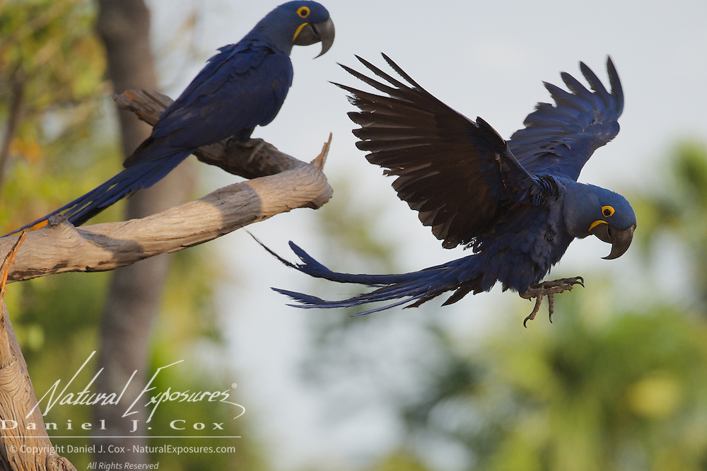 Hyacinth Macaw, Parnaiba Headwaters National Park, Brazil.