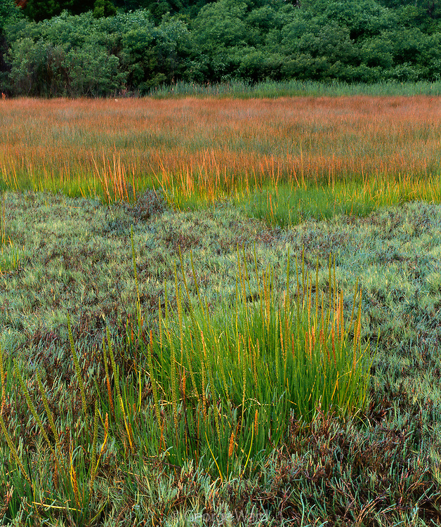 Arrow Grass, Salt Grass and Pckle Weed,Tidal Marsh Study Area on Tomales Bay,Marin County, California