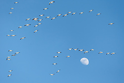Snow geese in flight formation against blue sky and moon, Bosque del Apache, National Wildlife Refuge, New Mexico, USA.