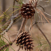 Pitch Pine cones at the Crane Beach Reservation, Ipswich, Massachusetts, managed by The Trustees of Reservations.