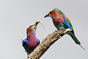Male lilac breasted roller gives female a stick insect.