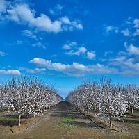 Almond Tree Blooms