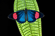 Painted Beauty Butterfly (Batesia hypochlora)<br /> Yasuni National Park, Amazon Rainforest<br /> ECUADOR. South America<br /> HABITAT & RANGE: