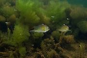Thread-finned Cichlid (Acarichthys heckelii) in Aquatic Vegetation<br /> Permanant Freshwater Pond<br /> Savannah<br /> Rupununi<br /> GUYANA<br /> South America<br /> RANGE: Brazil and British Guyana