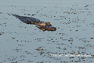 02929-00904 American Alligator (Alligator mississippiensis) Viera Wetlands Brevard County, FL